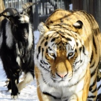 Σιβηριανός τίγρης έχει για φιλαράκι τον τράγο που θα... έτρωγε! (photos)