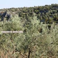 Σοκ σε καρπίδια και άνθη ελιάς από τις πρώιµες ζέστες στην Αργολίδα